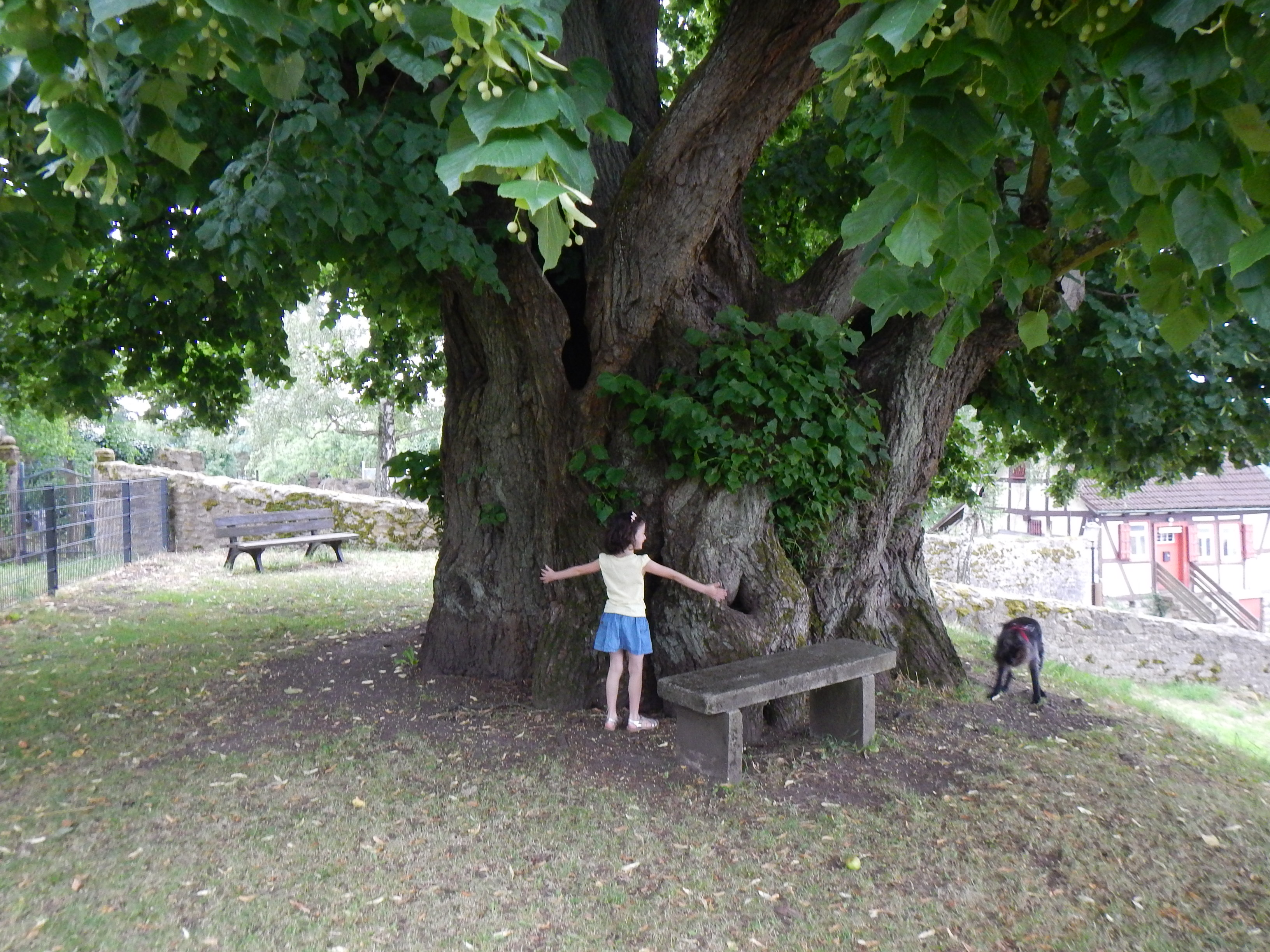 2016-07-28_Homberg_plus_vieil_arbre